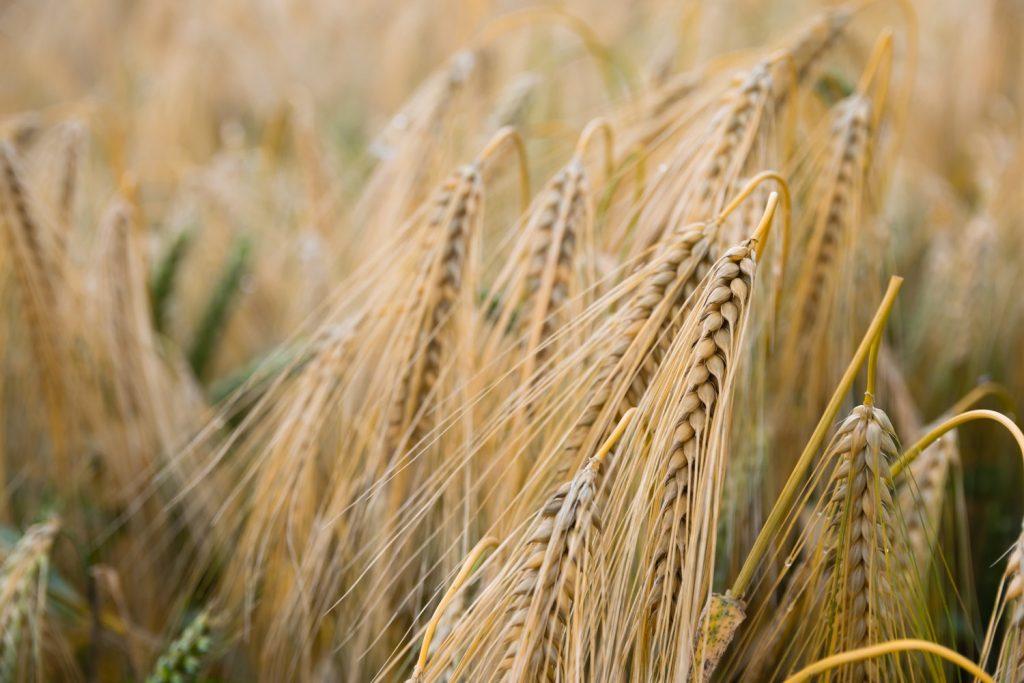 Wer keine Fructose verträgt, verträgt oft auch kein Weizen. Aber wo ist der Zusammenhang? Die Lösung könnte in den Fruktanen liegen | Fructoseunverträglichkeit und Weizensensibilität | fructopia.de